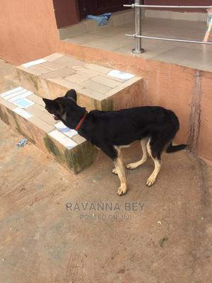 6-12 month Female Purebred German Shepherd | Dogs & Puppies for sale in Lagos State, Ikorodu