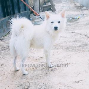 1+ Year Male Mixed Breed American Eskimo | Dogs & Puppies for sale in Osun State, Ife