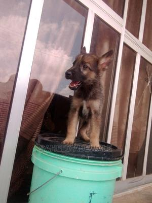 1-3 Month Male Purebred German Shepherd | Dogs & Puppies for sale in Oyo State, Oluyole