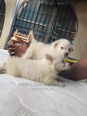1-3 Month Female Purebred American Eskimo | Dogs & Puppies for sale in Ondo State, Akure