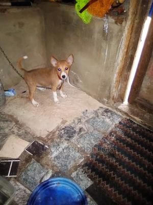 0-1 Month Female Mixed Breed Basenji   Dogs & Puppies for sale in Delta State, Warri