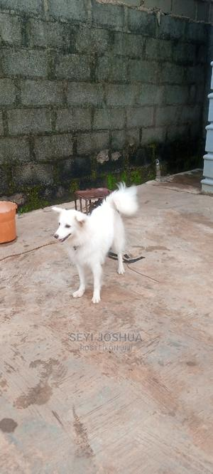 6-12 Month Female Purebred American Eskimo | Dogs & Puppies for sale in Lagos State, Ikorodu