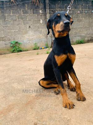 6-12 Month Female Purebred Rottweiler | Dogs & Puppies for sale in Lagos State, Ikorodu