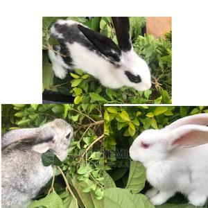 Quality Rabbits for Sale   Other Animals for sale in Ogun State, Ado-Odo/Ota
