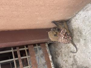 Monkey Baboon | Other Animals for sale in Imo State, Owerri