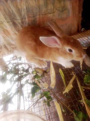 Quality Rabbits for Sale   Livestock & Poultry for sale in Ogun State, Ado-Odo/Ota