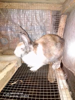 Quality Rabbit for Sale | Livestock & Poultry for sale in Ogun State, Ado-Odo/Ota