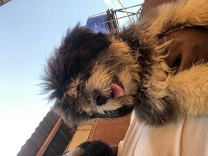 6-12 Month Male Purebred Lhasa Apso | Dogs & Puppies for sale in Lagos State, Maryland
