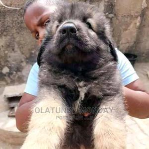 1-3 Month Female Purebred Caucasian Shepherd   Dogs & Puppies for sale in Bauchi State, Alkaleri