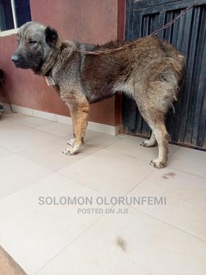 1+ Year Female Purebred Caucasian Shepherd | Dogs & Puppies for sale in Ogun State, Ado-Odo/Ota