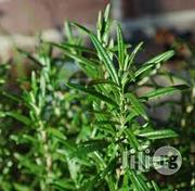 Rosemary Seedling Plant Herbs And Spices   Meals & Drinks for sale in Plateau State, Jos