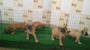 0-1 Month Female Purebred Boerboel   Dogs & Puppies for sale in Lagos State, Ikorodu