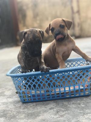 1-3 Month Female Purebred Boerboel   Dogs & Puppies for sale in Lagos State, Mushin