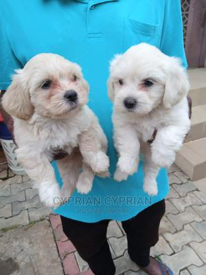 1-3 Month Male Purebred Lhasa Apso | Dogs & Puppies for sale in Anambra State, Nnewi