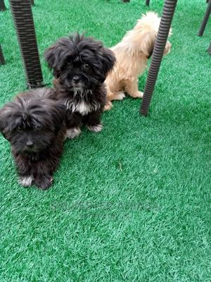 1-3 Month Male Purebred Lhasa Apso   Dogs & Puppies for sale in Abuja (FCT) State, Jabi