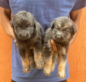 1-3 Month Female Purebred German Shepherd | Dogs & Puppies for sale in Imo State, Owerri