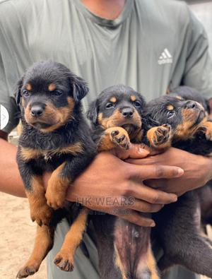 0-1 Month Female Purebred Rottweiler | Dogs & Puppies for sale in Imo State, Owerri