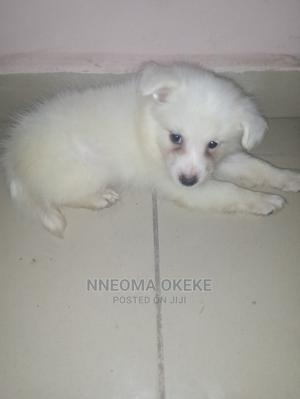1-3 Month Male Purebred Samoyed   Dogs & Puppies for sale in Enugu State, Enugu