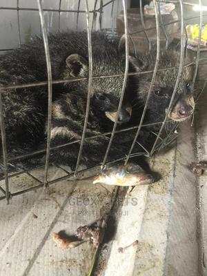 Africa Cevit Cat For Sale   Other Animals for sale in Delta State, Ugheli