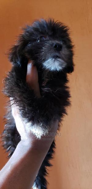 1-3 Month Male Purebred Lhasa Apso | Dogs & Puppies for sale in Lagos State, Ipaja