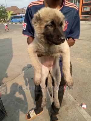 1-3 Month Male Purebred Caucasian Shepherd | Dogs & Puppies for sale in Rivers State, Port-Harcourt