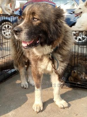1+ Year Female Purebred Caucasian Shepherd | Dogs & Puppies for sale in Rivers State, Port-Harcourt