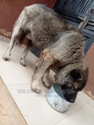 1+ Year Male Purebred Caucasian Shepherd | Dogs & Puppies for sale in Ogun State, Ado-Odo/Ota