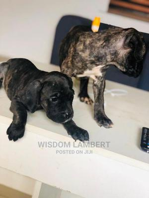 1-3 Month Female Purebred Boerboel   Dogs & Puppies for sale in Abuja (FCT) State, Gwagwalada