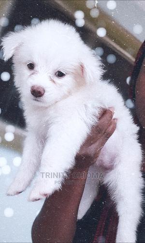 1-3 Month Female Purebred American Eskimo | Dogs & Puppies for sale in Edo State, Benin City