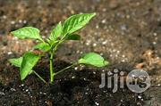 Basil Seedling Herbs And Spices   Meals & Drinks for sale in Plateau State, Jos