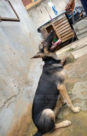 6-12 Month Female Purebred German Shepherd | Dogs & Puppies for sale in Lagos State, Oshodi
