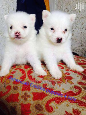 1-3 Month Female Purebred American Eskimo | Dogs & Puppies for sale in Oyo State, Ogbomosho South