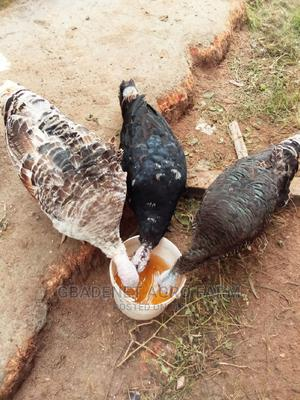 Madium Breed Mature Turkeys   Livestock & Poultry for sale in Osun State, Osogbo