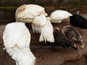 Pure Breed of Brelia Turkeys   Livestock & Poultry for sale in Osun State, Osogbo
