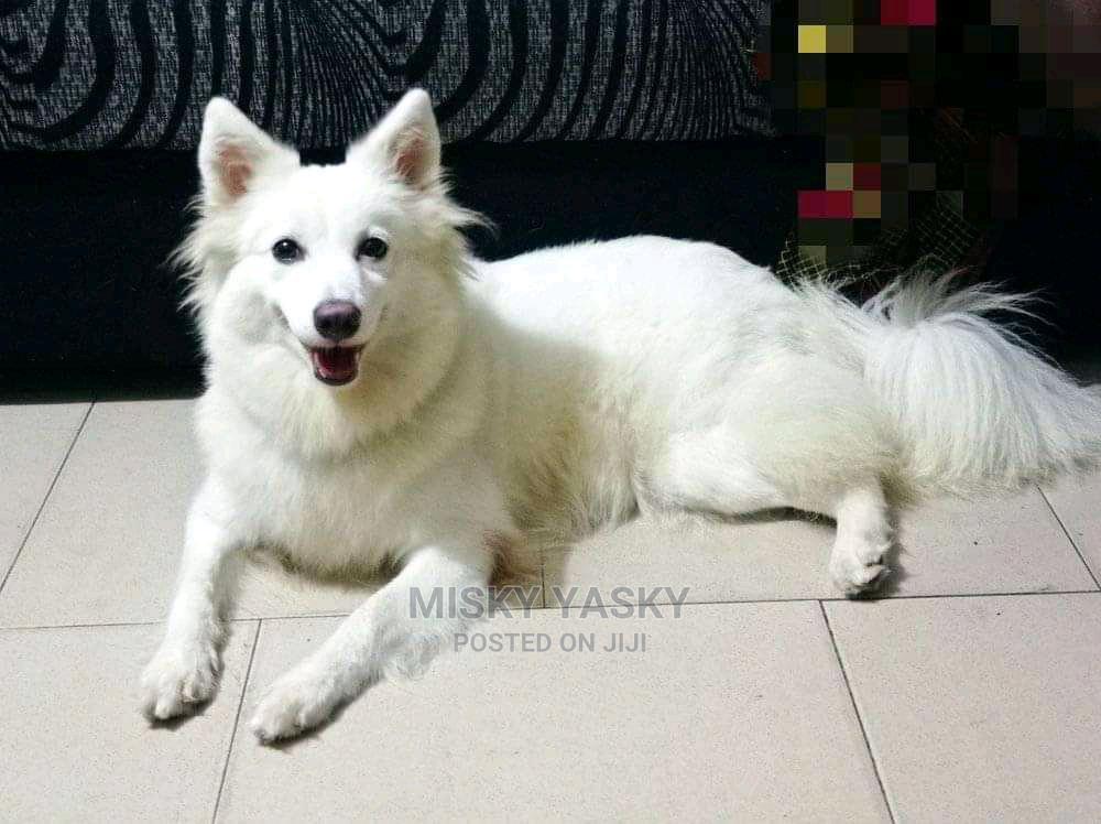 1+ year Male Purebred American Eskimo | Dogs & Puppies for sale in Ojota, Lagos State, Nigeria