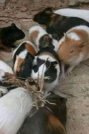 Guinea Pigs Available for Sale. | Livestock & Poultry for sale in Kaduna State, Kaduna / Kaduna State