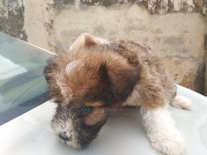 1-3 Month Male Purebred Lhasa Apso   Dogs & Puppies for sale in Abuja (FCT) State, Dutse-Alhaji