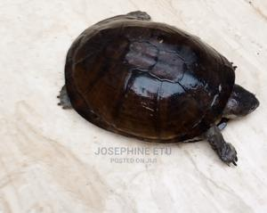 Land Tortoise   Reptiles for sale in Abuja (FCT) State, Kubwa