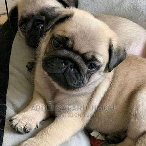 1-3 Month Male Purebred Pug | Dogs & Puppies for sale in Abia State, Umuahia