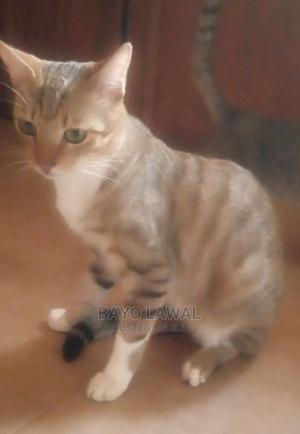 1+ Year Male Mixed Breed American Wirehair | Cats & Kittens for sale in Lagos State, Ikorodu
