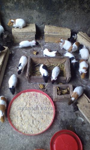 Guinea Pigs | Livestock & Poultry for sale in Ogun State, Ifo