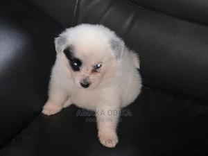 0-1 Month Female Mixed Breed American Eskimo   Dogs & Puppies for sale in Lagos State, Alimosho