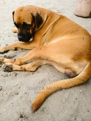 1+ Year Female Purebred Boerboel | Dogs & Puppies for sale in Lagos State, Ibeju