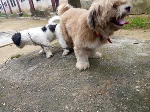 1+ Year Male Purebred Lhasa Apso   Dogs & Puppies for sale in Rivers State, Obio-Akpor