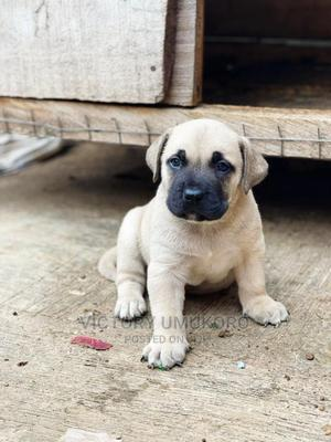 0-1 Month Male Purebred Boerboel | Dogs & Puppies for sale in Oyo State, Ibadan