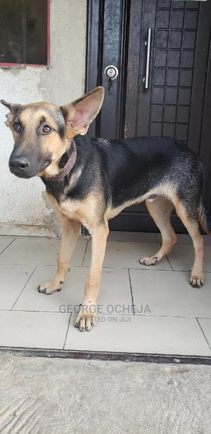 3-6 Month Male Purebred German Shepherd | Dogs & Puppies for sale in Abuja (FCT) State, Central Business District