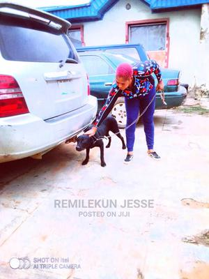 1+ Year Male Purebred Rottweiler | Dogs & Puppies for sale in Oyo State, Ido