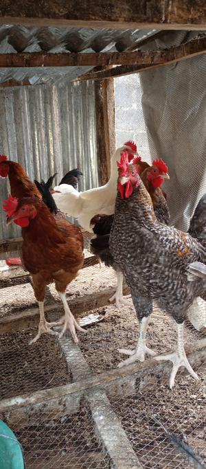 Big Noiler Cockerels | Livestock & Poultry for sale in Abuja (FCT) State, Kubwa