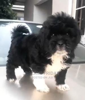 1-3 Month Female Purebred Lhasa Apso   Dogs & Puppies for sale in Ondo State, Ondo / Ondo State