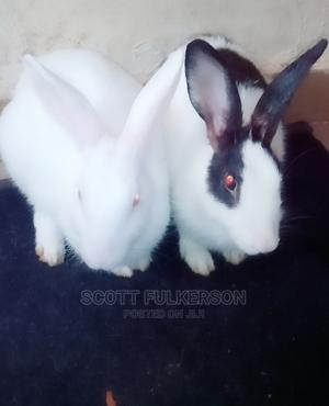 Cute Bunnies for Sale   Other Animals for sale in Abuja (FCT) State, Dakwo District